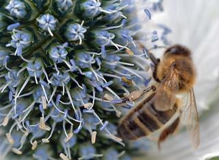Honey bee on Eryngium