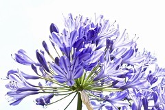 Summer dream (evakatharina12) Tags: african blue lily flower agapanthus summer outdoor highkey panasonic lumix fz1000