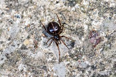 Common False-widow spider (Steatoda bipunctata), female (Hoppy1951) Tags: gilwern monmouthshire gbr allanhopkins hoppy1951 wales uk mygarden commonfalsewidow spider steatodabipunctata female