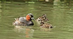 we are family (westoncfoto) Tags: cromfordcanal matlock derbyshire canal industrial dabchick littlegrebe babies fish