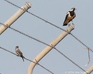 Juvenile White-browed Woodswallow?  Help with ID! and Magpie-Lark for scale.