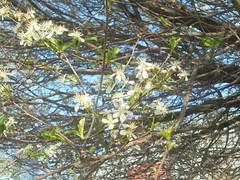 019 (en-ri) Tags: fiorellini little flowers bianco verde sony sonysti albero tree foglie leaves