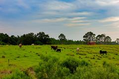 FloridaPolyTech-Cows-3- (Steve S. Yang) Tags: campus grazing cow floridafarm floridacollege lakeland floridapolytechnicuniversity