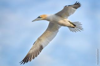 Gannet Fly-By
