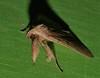 xtra long horn wooly leg moth Simplicia erebina Herminiinae Erebidae Airlie Beach rainforest P1350273 (Steve & Alison1) Tags: xtra long horn wooly leg moth simplicia erebina herminiinae erebidae airlie beach rainforest