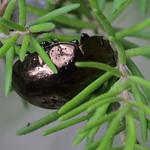 Chrysolina wollastoni ? (Chrysomelidae) from Tenerife thumbnail