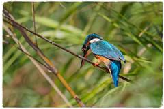 Blauet - Guarda-rios - Martín pescador - Martin pêcheur - Alcedo atthis - Kingfisher (aurearamon) Tags: guardarios martinpêcheur kingfisher alcedoatthis blauet martínpescador flickrbirds