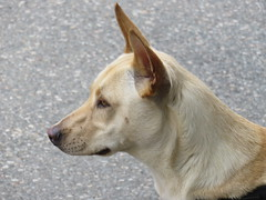 I see a Snack (knightbefore_99) Tags: dog chien perro puppy street waiting good furry cool car free day attention snack cute ears italian italy best
