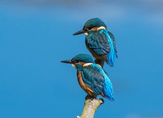Kingfisher (juveniles)