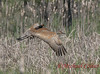 _29A2571 (Mike Colter) Tags: sandhill cranes redwing black birds