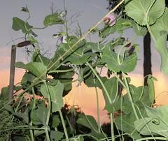 Sugar Magnolia Pea Plants At Dusk (amyboemig) Tags: june summer sugarmagnolia purple peas pea blossom dusk clouds