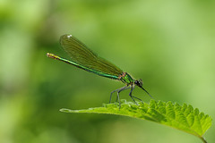 IMGP2720c Banded Demoiselle, Lackford Lakes, June 2018 (bobchappell55) Tags: lackfordlakes suffolk wild wildlife nature insect bandeddemoiselle damselfly calopteryxsplendens