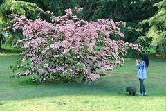 Who Let the Dog(wood) out ? (Pierre♪ à ♪VanCouver) Tags: cornus dogwood cornouillerdupacifique vancouver queenelizabethpark