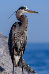 _DSC0271.jpg (David Hamments) Tags: bird heron colchester sigma100400 ontario harbour gbh fantasticnature