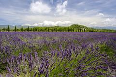 Lavanda (Fil.ippo) Tags: lavanda lavender provence provenza france francia flower purple fiori campo field sky clouds landscape panorama filippo filippobianchi nikon d7000 travel viaggi