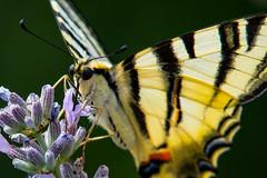 qualcosa di dolce (66Colpi) Tags: farfalla podalirio lavanda ali macro closeup natura fiore proboscide occhi antenne canon700d