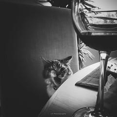Maybe some wine after lunch? (.KiLTRo.) Tags: huechuraba regiónmetropolitana chile cl kiltro cat kitten pet life animal moment bw blackandwhite gato