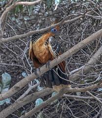 Hoatzin bird - Rio Guayabero (Hannes Rada) Tags: colombia lamacarena rioguayabero hoatzin