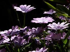 gli emergenti (fotomie2009) Tags: flower fiore flora fleur flor pink osteospermum african daisy margherita occhiblu blueeyed