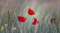Primavera (Mariano Belmar Torrecilla) Tags: primavera amapola reed españa|murcia|murciac losroyos