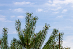 Spikes and sky (Photography by Martijn Aalbers) Tags: forest bos trees bomen leaves bladeren green groen branches takken path pad walk wandeling nature natuur colour kleur color sunny zonnig summer zomer light licht shadow schaduw canon eos 77d ef70200mm f4l is usm wwwgevoeligeplatennl utrechtseheuvelrug