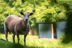 Morning Surprise (NathalieSt) Tags: europe exmes france normandie bassenormandie campagne countryside nature nikon nikond750 nikonpassion nikonphotography normandy orne bokeh mouton sheep