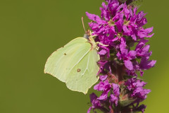 BRIMSTONE (_jypictures) Tags: animalphotography animals animal animalplanet canon canon7d canonphotography wildlife wildlifephotography wiltshire naturephotography nature photography pictures brimstone butterfly butterflies macrophotography macro insect insectphotography