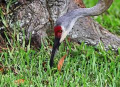 07-11-18-0026755 (Lake Worth) Tags: animal animals bird birds birdwatcher everglades southflorida feathers florida nature outdoor outdoors waterbirds wetlands wildlife wings