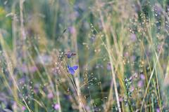 secret.dreams (_andrea-) Tags: sonya7m2 bläuling lepidoptera insekten insects objektiv nature outdoor fe90mmf28macrogoss bokeh bokehshots bokehjunkie bokehs butterfly meadow