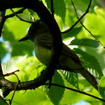 Great Crested Flycatcher thumbnail