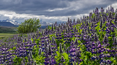 Fields of Purple (katrin glaesmann) Tags: island iceland unterwegsmiticelandtours photographyholidaywithicelandtours flower plant lupinen alaskalupine lupinusnootkatensis nootkalupine mountains clouds snæfellsnes thegeotaggisactuallyjustaveryroughguess breathtakinglandscapes