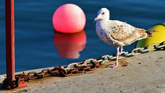 A Herring Gull's Pose for the Camera (ASHA THE BORDER COLLiE) Tags: herring gull bird buoy rusty chain harbour donaghadee marine connie kells county down photography