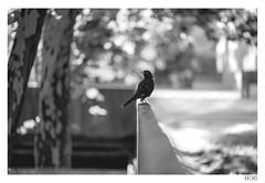 Blackbird (Aljaž Anžič Tuna) Tags: blackbird bird urban bouquet dof animal shadow photo365 project365 portrait onephotoaday onceaday 365 35mm 365challenge 365project nikond800 nikkor nice naturallight nikon nikon105mmf28 d800 dailyphoto day bw blackandwhite black white blackwhite beautiful