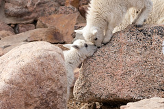 Mountain Goat kids nose to nose