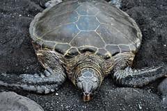 Takes a nap (thomasgorman1) Tags: turtle seaturtle green blacksand shore sealife wildlife nature nikon closeup reptile hawaii honu punuluu island beach sea sand rocks
