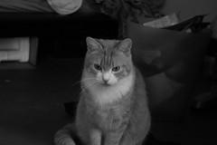 Nirani the kitty (missannemarie91) Tags: cat blackandwhitepicture kat kitty meow pet animal