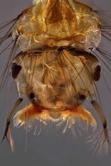 Mosquito larva (mr.sansibar) Tags: jansjö pond arthropoda focusstacking diptera insect olympusbh2 photomicrography microscopy heliconfocus larva polarizedlight culex culicidae mosquito