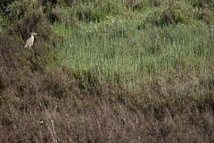 Vendicari__0009b (Per Lekholm) Tags: vendicari sicilien sicily rallhäger squacco heron ardeola ralloides