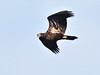 Bald Eagle juvenile  01-20180622 (Kenneth Cole Schneider) Tags: florida miramar westmiramarwca
