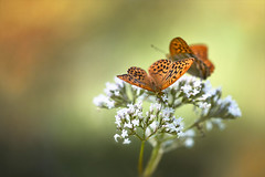 Sommer... (angelika.kart) Tags: natur falter kaisermantel sonne sommer schmetterling orange flora fauna iful autiful