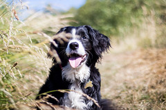 Smile for the camera (Captain192) Tags: dog dogs collie spaniel bordercollie spanielcolliecross sprollie manualfocus adaptedlenses nikon50mmf18ais bagworth bagworthheath grass focus depthoffield bokeh nationalforest