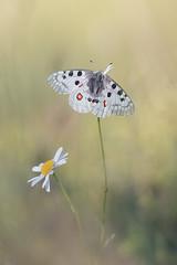 Apollon (catgbl) Tags: apollon parnassiusapollo papillon jura nature insecte