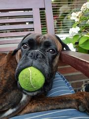 Boxer Marly met de tennisbal op de tuinbank. (marcelwijers) Tags: boxer marly met tennisbal op de tuinbank