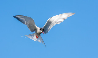 Common Tern hovering over pond in Boucherville