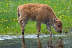 Becoming self aware (ChicagoBob46) Tags: bisoncalf reddog bison yellowstone yellowstonenationalpark nature wildlife ngc coth5 npc