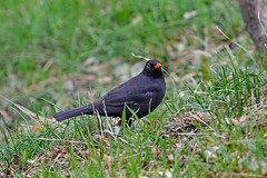 Черный дрозд, Turdus merula aterrimus, Blackbird (Oleg Nomad) Tags: птицы грузия тбилиси bird aves georgia tbilisi черныйдрозд turdusmerulaaterrimus blackbird