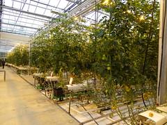 Visita a un invernadero de tomates Islandia 02 (Rafael Gomez - http://micamara.es) Tags: visita un invernadero de tomates islandia iceland