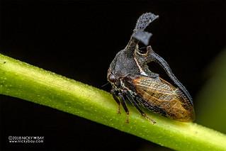 Treehopper (Membracidae) - DSC_6055