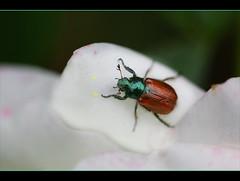 gartenkäfer (amdolu) Tags: gartenkäfer gartenlaubkäfer käfer vw grün schillernd phylloperthahorticola manbeachtedenautotaglebensmittel