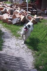 puppers (ConcreteLies) Tags: puppy papi dog pup pet animal grass chopped logs wood garden courtyard